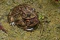 Flickr - ggallice - Southern toad love.jpg