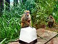 Flickr - ronsaunders47 - ANIMAL BEGGARS. THE MONKEYS OF SRI LANKA..jpg