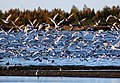 Flock of Gulls Oulu 20100927.JPG