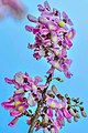 Flower of Gliricidia sepium in Kerala.jpg
