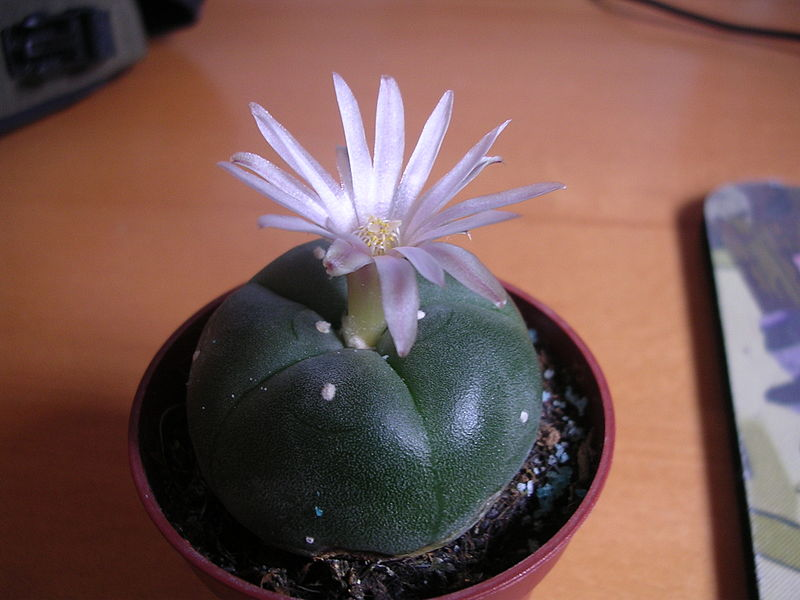 File:Flowering peyote cactus.jpg