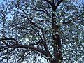 Flowering tree Rutgers University.JPG