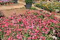 Flowers at Iraq al Amir, Amman Governorate, Jordan 4.JPG