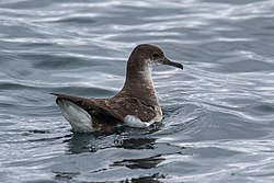 Fluttering Shearwater - Picton - New Zealand (38272695755).jpg