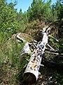 Forêt de la Coubre 023.jpg