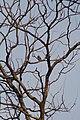 Forest Owlet (Heteroglaux blewitti) on a dry Teak tree around 40 feet up in full sunlight. Melghat, Maharashtra..jpg