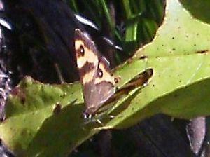 Butterflies of New Zealand - Forest ringlet