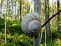 Forest snail (33716660554).jpg