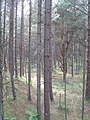 Forested sand dunes, Tentsmuir - geograph.org.uk - 1454343.jpg