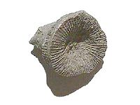 The fossil coral Heliophyllum halli from the Devonian period, found in Canada.
