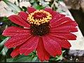 Foto Floral Indonesia ( Bunga ) M.kisra Anusyirwan.jpg