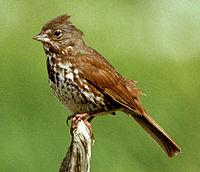 Foxsparrow