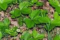 Fragaria vesca in Aveyron (5).jpg