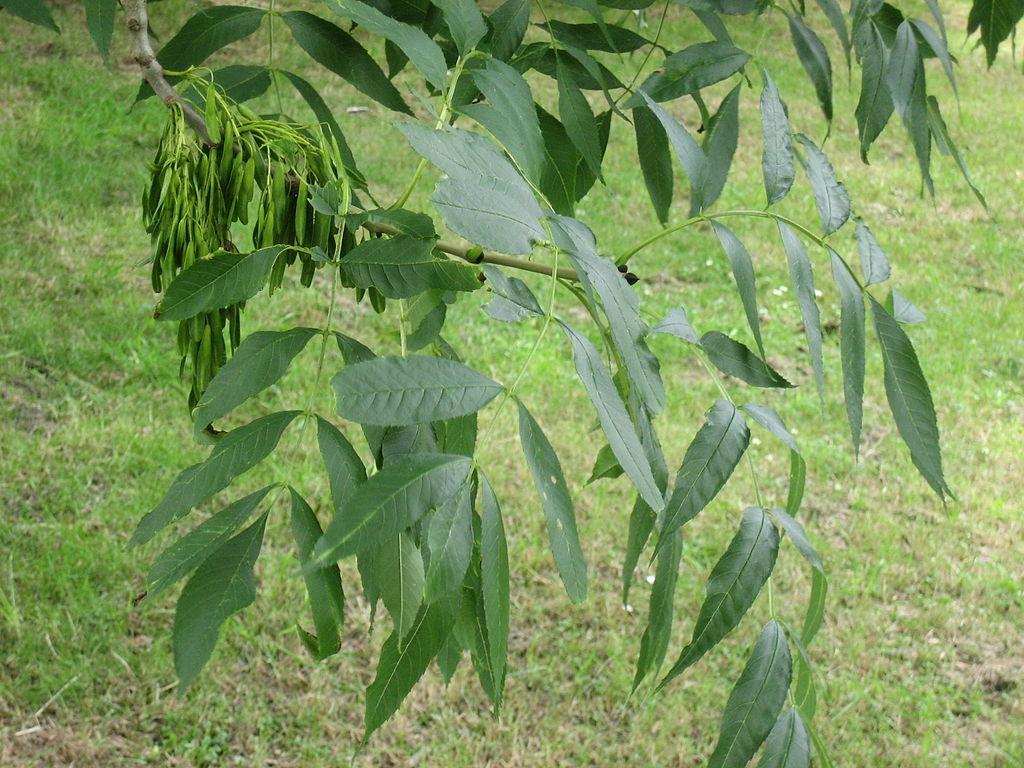 Jaseň štíhly - plody a listy