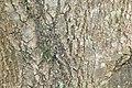 Fraxinus uhdei 1zz.jpg