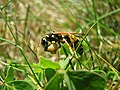 French wasp eating a caterpillar.jpg