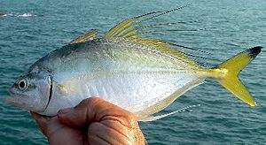 Fringefin trevally - The male fringefin trevally has elongated dorsal and anal fin rays
