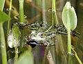 Frog MG 4476.jpg