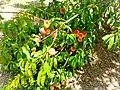Full grown peach tree.jpg