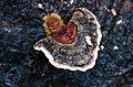Fungi and lichen (15917802412).jpg