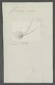 Furcocerca orbis - - Print - Iconographia Zoologica - Special Collections University of Amsterdam - UBAINV0274 105 15 0006.tif