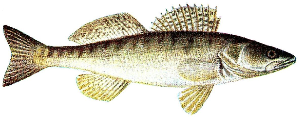 Cand t obecn wikipedie for Fisch barsch