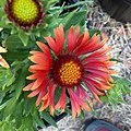 Gaillardia-arizona-red-shades-3714.jpg