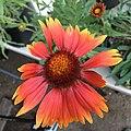 Gaillardia aristata public domain IMG 4979.jpg