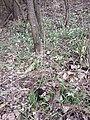 Galanthus nivalis sl18.jpg