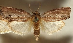 Waxworm - Adult specimen of the greater wax moth (Galleria mellonella)