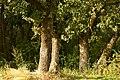 Garboavele oaks forest - Padurea de stejari Garboavele - panoramio.jpg