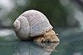 Gastropoda (Schnecke).jpg