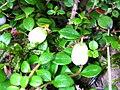 Gaultheria hispidula 4 (5097903012).jpg
