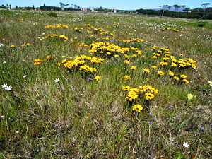 Cape Flats Sand Fynbos - A surviving remnant of Cape Flats Sand Fynbos at Rondebosch Common.