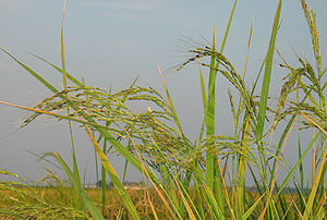 Oryza - Image: Gealypic 5