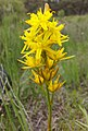 Gelbe Moorlilie (Narthecium ossifragum) Naturpark Südheide 20200704 (4).jpg