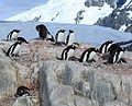 Gentoo Penguins with chicks at Jougla Point, Antarctica (6063640346).jpg