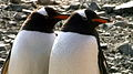 Gentoo penguins in Antarctica.JPEG