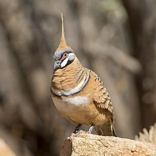 Spinifex pigeon Species of bird