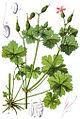 Geranium lucidum Sturm6.jpg