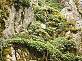 Geranium macrorrhizum Dolene.jpg