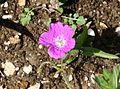 Geranium palustre ENBLA01.jpeg