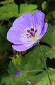 Geranium wallichianum 'Buxton's Blue' 04.JPG