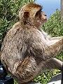 Gibraltar's Monkey 159.JPG