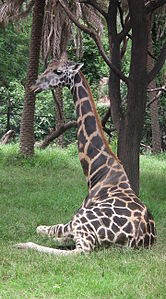 Giraffa camelopardalis from Nehru Zoological park Hyderabad 4368.JPG