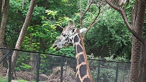 Giraffa camelopardalis from Nehru Zoological park Hyderabad 4375.JPG