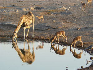 Giraffe and Black-faced Impalas drinking, Etosha National Park, Namibia.jpg
