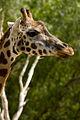 Giraffe face (4334182316).jpg