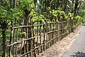 Gliricidia sepium Fence ശീമക്കൊന്ന വേലി.JPG