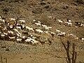 Goats in Tanzania 1325 Nevit.jpg